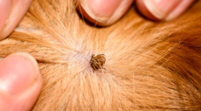 How To Get Rid Of Fleas?