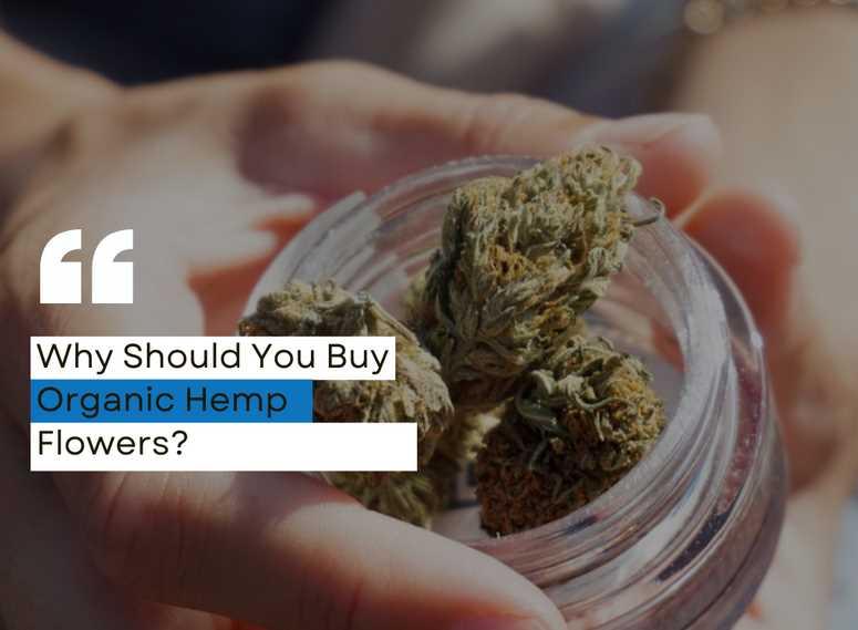 Why Should You Buy Organic Hemp Flowers?